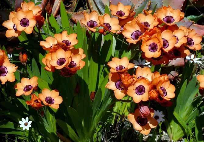 спараксис выращивание и применение в цветоводстве