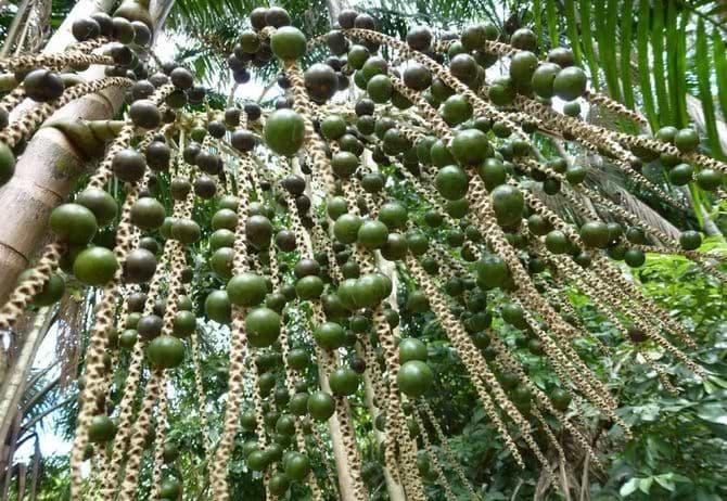 Зеленые ягоды асаи