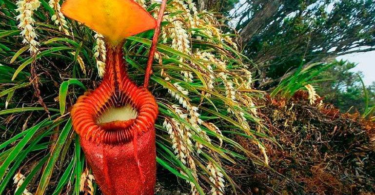 Растения-хищники — фото непентиса