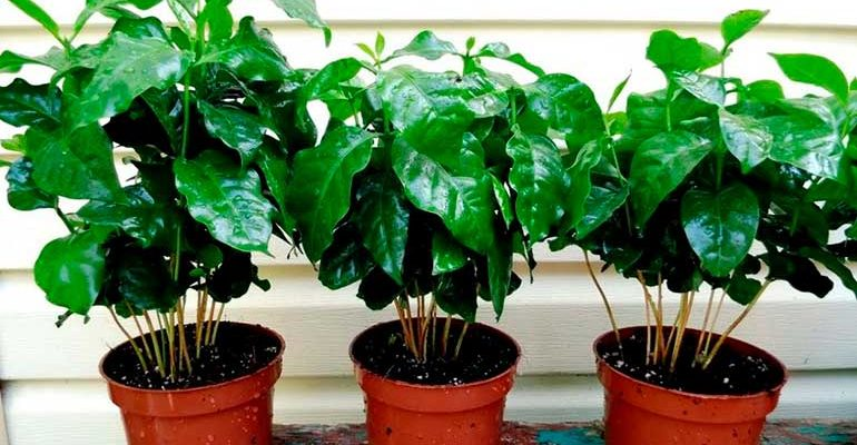 кофейное дерево в природе