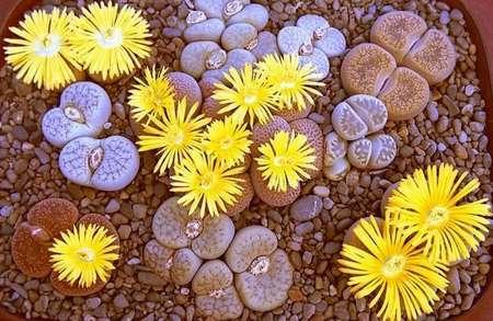 живые камни фото