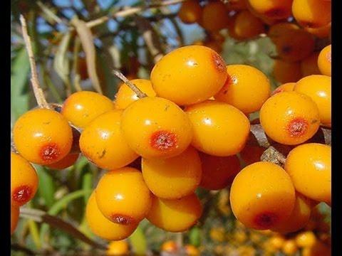 Полезные свойства облепихи и черноплодной рябины